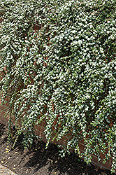 Coral Beauty Cotoneaster (Cotoneaster dammeri 'Coral Beauty') at Hicks Nurseries