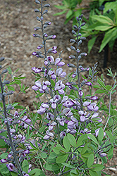 Purple Smoke False Indigo (Baptisia 'Purple Smoke') at Hicks Nurseries