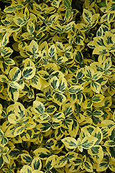 Emerald 'n' Gold Wintercreeper (Euonymus fortunei 'Emerald 'n' Gold') at Hicks Nurseries