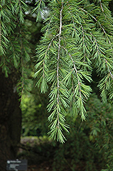 Shalimar Deodar Cedar (Cedrus deodara 'Shalimar') at Hicks Nurseries