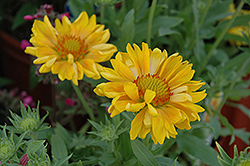 Sunburst Tangerine Blanket Flower (Gaillardia x grandiflora 'Sunburst Tangerine') at Hicks Nurseries