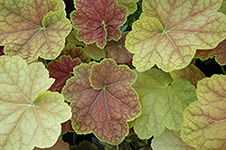 Tiramisu Coral Bells (Heuchera 'Tiramisu') at Hicks Nurseries