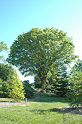 Japanese Zelkova (Zelkova serrata) at Hicks Nurseries