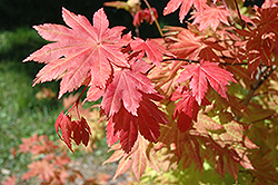 Autumn Moon Full Moon Maple (Acer shirasawanum 'Autumn Moon') at Hicks Nurseries