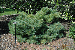 Glauca Nana Eastern White Pine (Pinus strobus 'Glauca Nana') at Hicks Nurseries