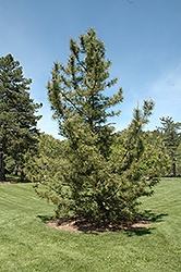 Japanese Black Pine (Pinus thunbergii) at Hicks Nurseries