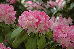 Holden Rhododendron (Rhododendron 'Holden') at Hicks Nurseries