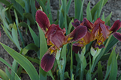 Dingy Flag Iris (Iris lurida) at Hicks Nurseries