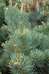 Gimborn's Ideal Japanese White Pine (Pinus parviflora 'Gimborn's Ideal') at Hicks Nurseries