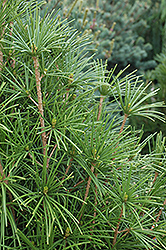 Wintergreen Umbrella Pine (Sciadopitys verticillata 'Wintergreen') at Hicks Nurseries