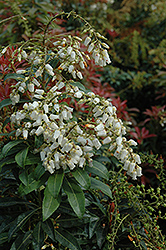 Mountain Fire Japanese Pieris (Pieris japonica 'Mountain Fire') at Hicks Nurseries