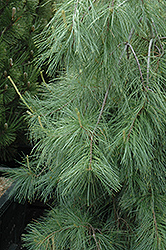Weeping White Pine (Pinus strobus 'Pendula') at Hicks Nurseries