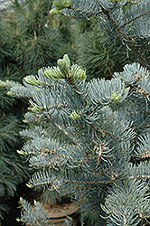 Candicans White Fir (Abies concolor 'Candicans') at Hicks Nurseries
