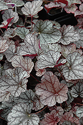 Silver Scrolls Coral Bells (Heuchera 'Silver Scrolls') at Hicks Nurseries