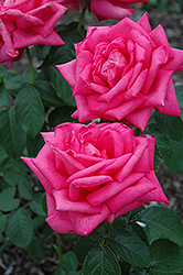 Miss All American Beauty Rose (Rosa 'Miss All American Beauty') at Hicks Nurseries