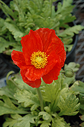 Garden Gnome Poppy (Papaver nudicaule 'Garden Gnome') at Hicks Nurseries
