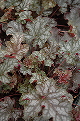 Can Can Coral Bells (Heuchera 'Can Can') at Hicks Nurseries