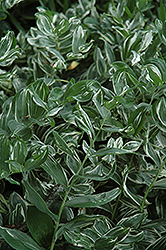 Variegated Solomon's Seal (Polygonatum multiflorum 'Variegatum') at Hicks Nurseries