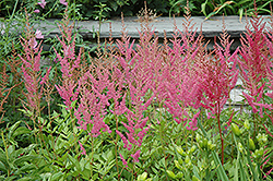 Visions in Pink Chinese Astilbe (Astilbe chinensis 'Visions in Pink') at Hicks Nurseries