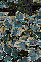 Aristocrat Hosta (Hosta 'Aristocrat') at Hicks Nurseries