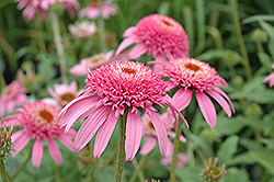 Cone-fections™ Pink Double Delight Coneflower (Echinacea purpurea 'Pink Double Delight') at Hicks Nurseries