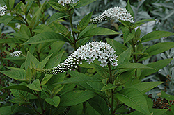 Gooseneck Loosestrife (Lysimachia clethroides) at Hicks Nurseries