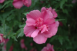 Lucy Rose Of Sharon (Hibiscus syriacus 'Lucy') at Hicks Nurseries