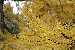 European Larch (Larix decidua) at Hicks Nurseries