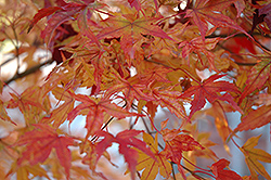 Butterfly Variegated Japanese Maple (Acer palmatum 'Butterfly') at Hicks Nurseries