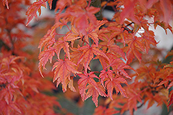 Lions Head Japanese Maple (Acer palmatum 'Shishigashira') at Hicks Nurseries