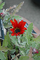 Red Torch African Daisy (Arctotis 'Red Torch') at Hicks Nurseries