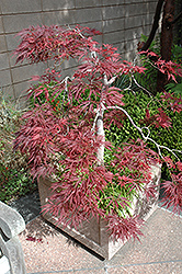 Ever Red Lace-Leaf Japanese Maple (Acer palmatum 'Ever Red') at Hicks Nurseries