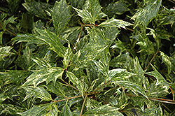 Variegated False Holly (Osmanthus heterophyllus 'Goshiki') at Hicks Nurseries