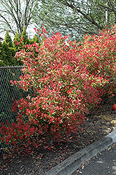 Fraser Photinia (Photinia x fraseri) at Hicks Nurseries
