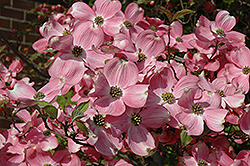Cherokee Brave Flowering Dogwood (Cornus florida 'Cherokee Brave') at Hicks Nurseries