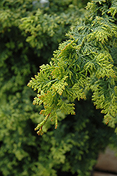 Gold Fern Hinoki Falsecypress (Chamaecyparis obtusa 'Gold Fern') at Hicks Nurseries