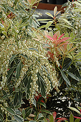 Flaming Silver Japanese Pieris (Pieris japonica 'Flaming Silver') at Hicks Nurseries