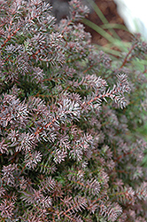 Red Star Whitecedar (Chamaecyparis thyoides 'Red Star') at Hicks Nurseries