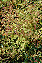 Gulf Stream Dwarf Nandina (Nandina domestica 'Gulf Stream') at Hicks Nurseries