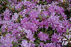 Purple Gem Rhododendron (Rhododendron 'Purple Gem') at Hicks Nurseries