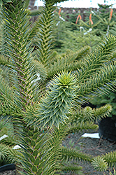 Monkey Puzzle Tree (Araucaria araucana) at Hicks Nurseries