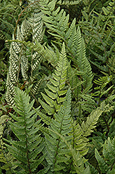 Korean Rock Fern (Polystichum tsus-simense) at Hicks Nurseries