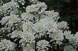 Purity Candytuft (Iberis sempervirens 'Purity') at Hicks Nurseries