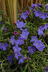 Grace Ward Lithodora (Lithodora 'Grace Ward') at Hicks Nurseries