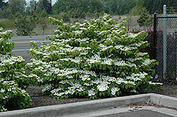 Shasta Doublefile Viburnum (Viburnum plicatum 'Shasta') at Hicks Nurseries