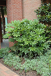 Japanese Fatsia (Fatsia japonica) at Hicks Nurseries