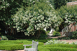 Natchez Crapemyrtle (Lagerstroemia 'Natchez') at Hicks Nurseries