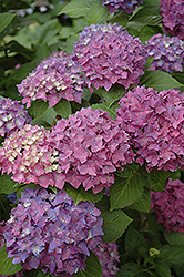 Pia Hydrangea (Hydrangea macrophylla 'Pia') at Hicks Nurseries