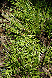 Grassy-Leaved Sweet Flag (Acorus gramineus 'Minimus Aureus') at Hicks Nurseries