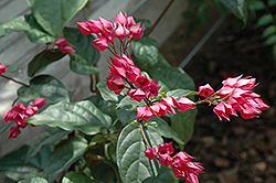 Flaming Glorybower (Clerodendrum splendens) at Hicks Nurseries